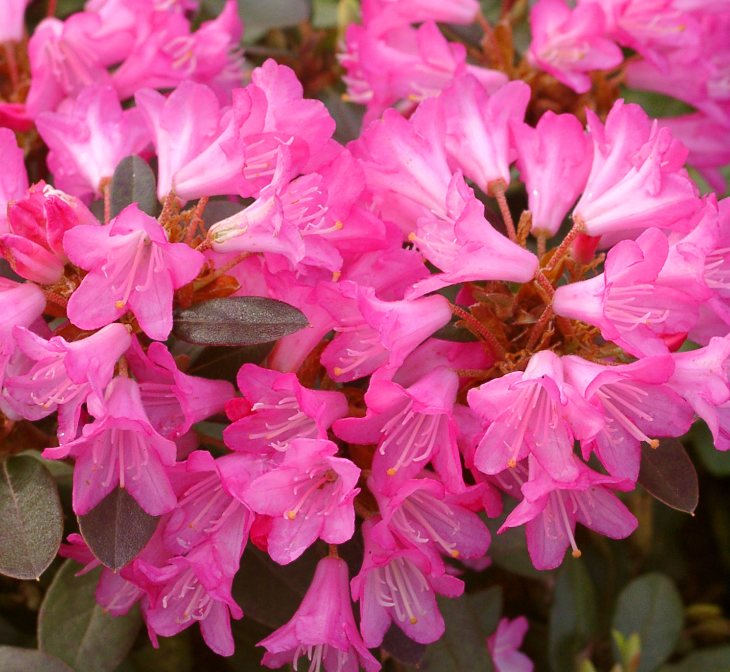 low growing dwarf hybrid rhododendron are ideal for a. Black Bedroom Furniture Sets. Home Design Ideas
