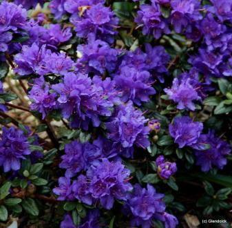 Low-growing Dwarf Hybrid Rhododendron are ideal for a ...