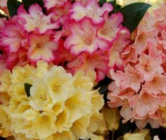 Hybridising rhododendrons