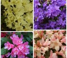 Rhododendron best sellers