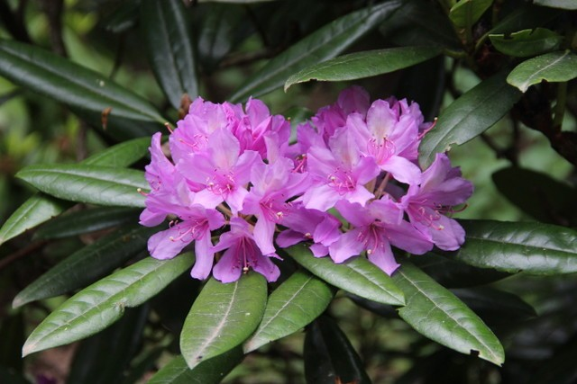 3 Why so called Rhododendron x superponticum is n...