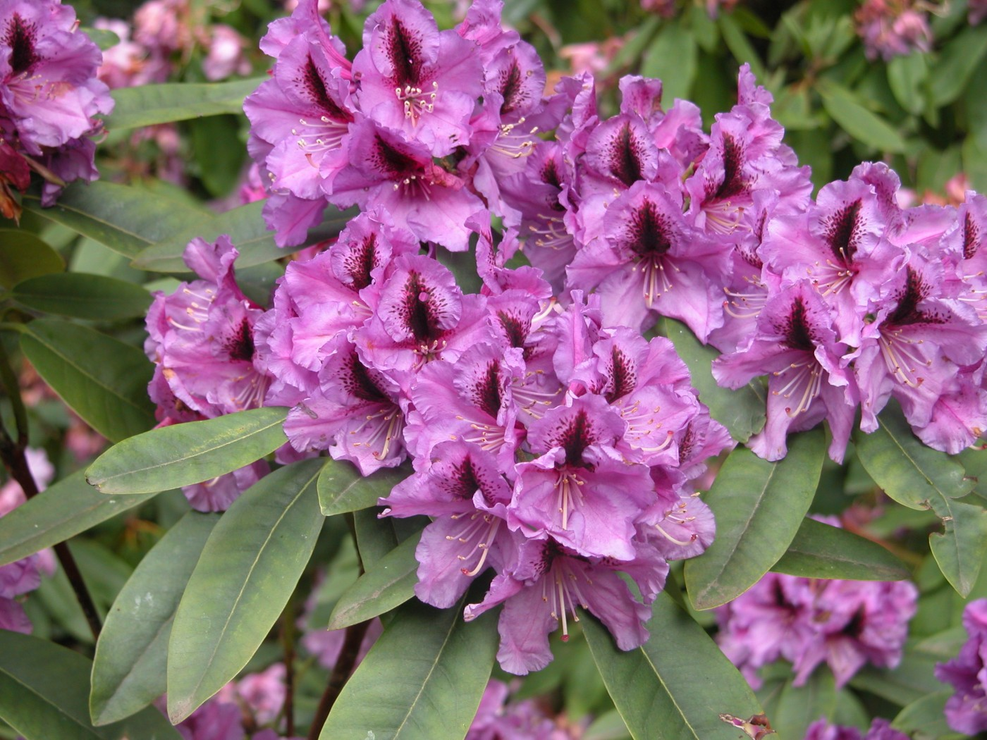 5 Why so called Rhododendron x superponticum is n...
