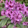 Rhododendrons and Azaleas: how to grow, what they need and how to keep them healthy