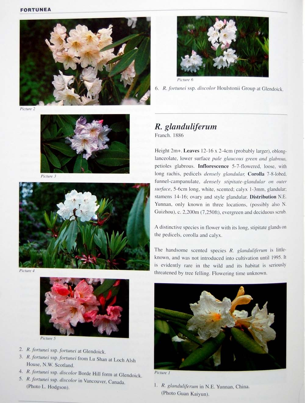 1 books- Sample Page R. fortunei & R. glanduliferum: