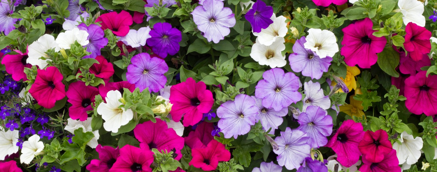 petunias for summer bedding