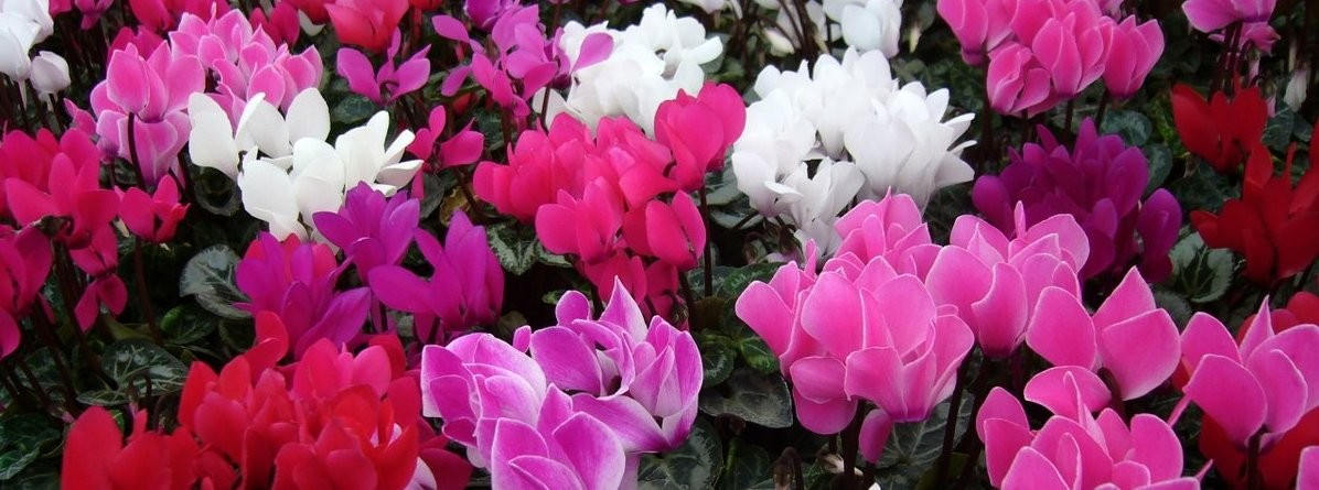Cyclamen (Miracle type) Pentland plants - Copy - Copy