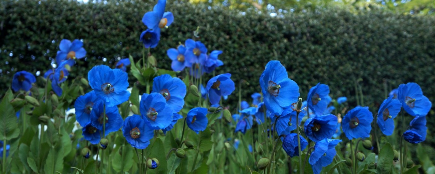 Image result for meconopsis images
