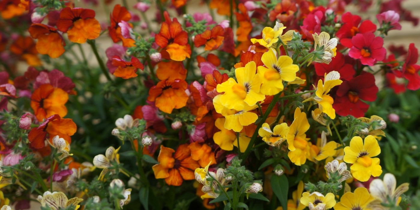 Bedding Nemesia mass of colour