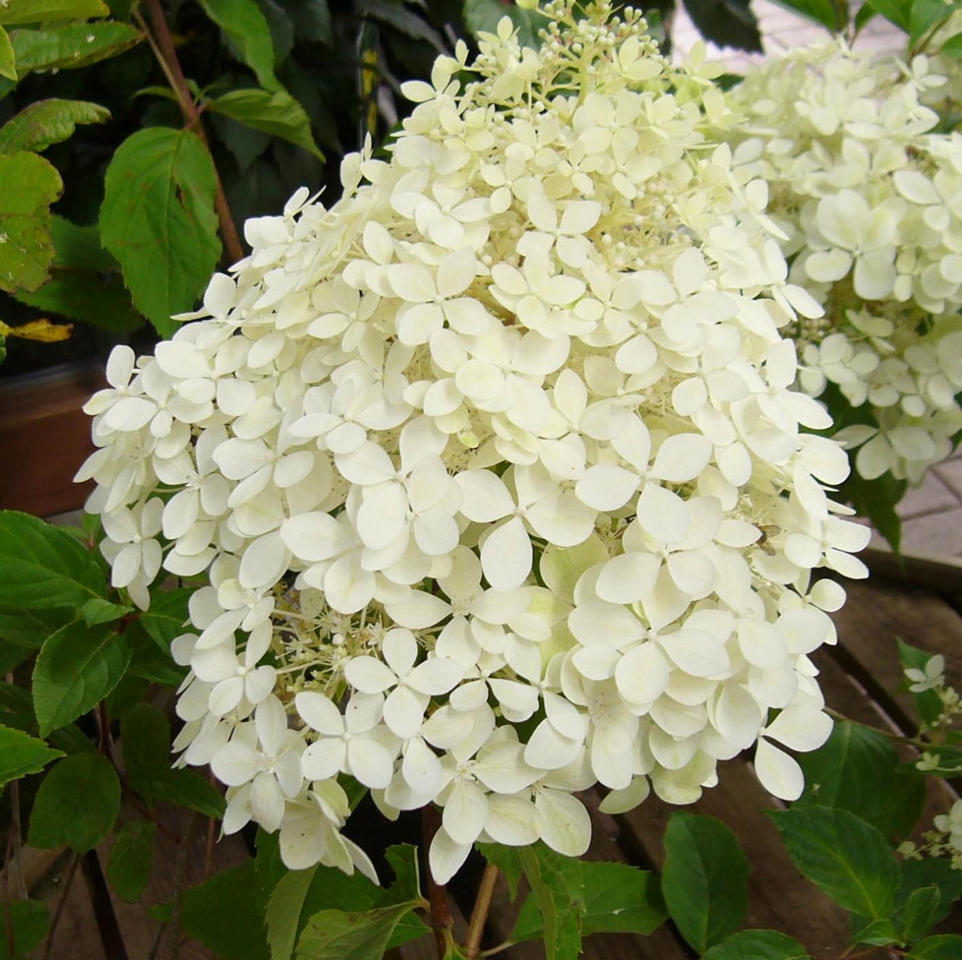 Shrubs Hydrangea paniculata Phantom (2)
