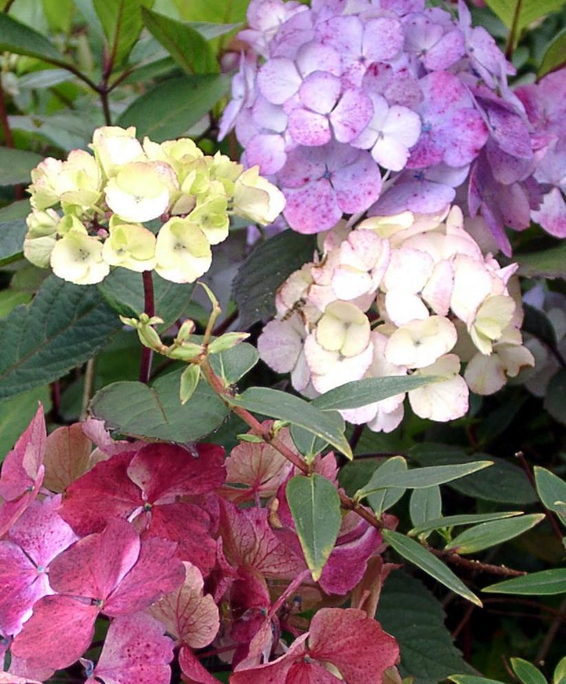 Shrubs Hydrangea serrata preziosa 3 colours