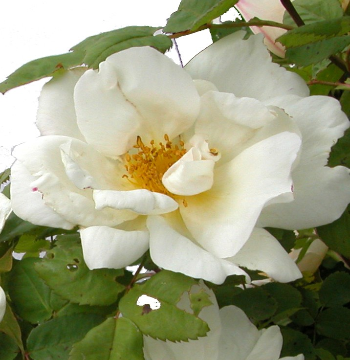 Shrubs Rose 6. Rosa rugosa alba