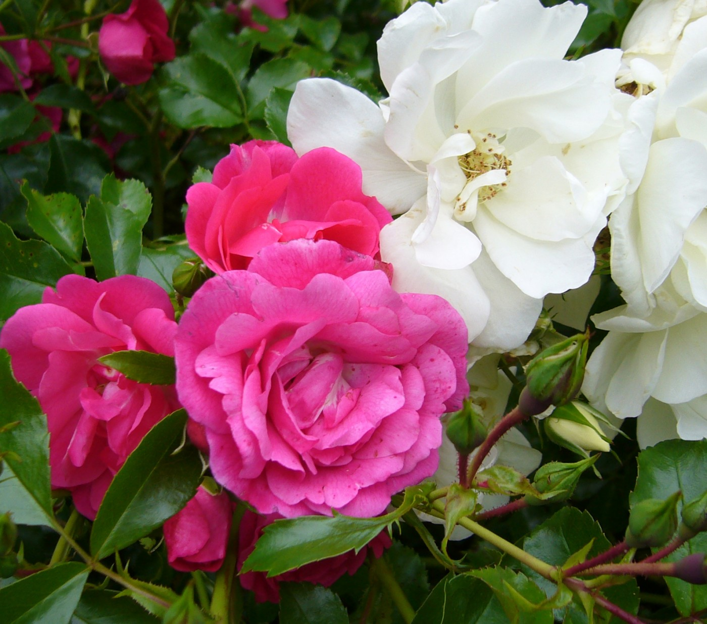 Shrubs Rose 5. Flower Carpet, White _ Pink