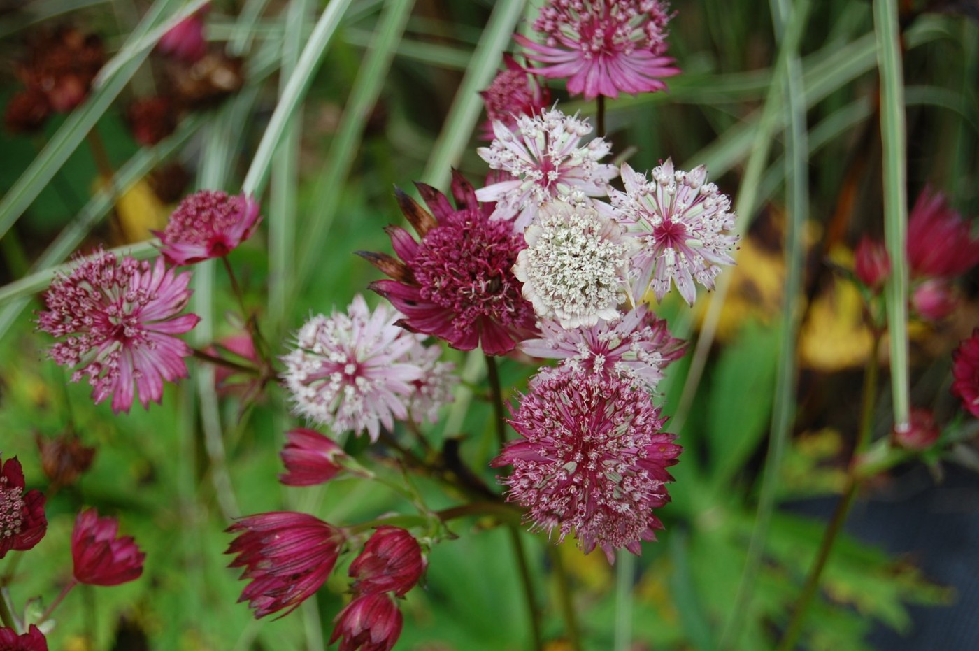 Perennials Astrantia red and white