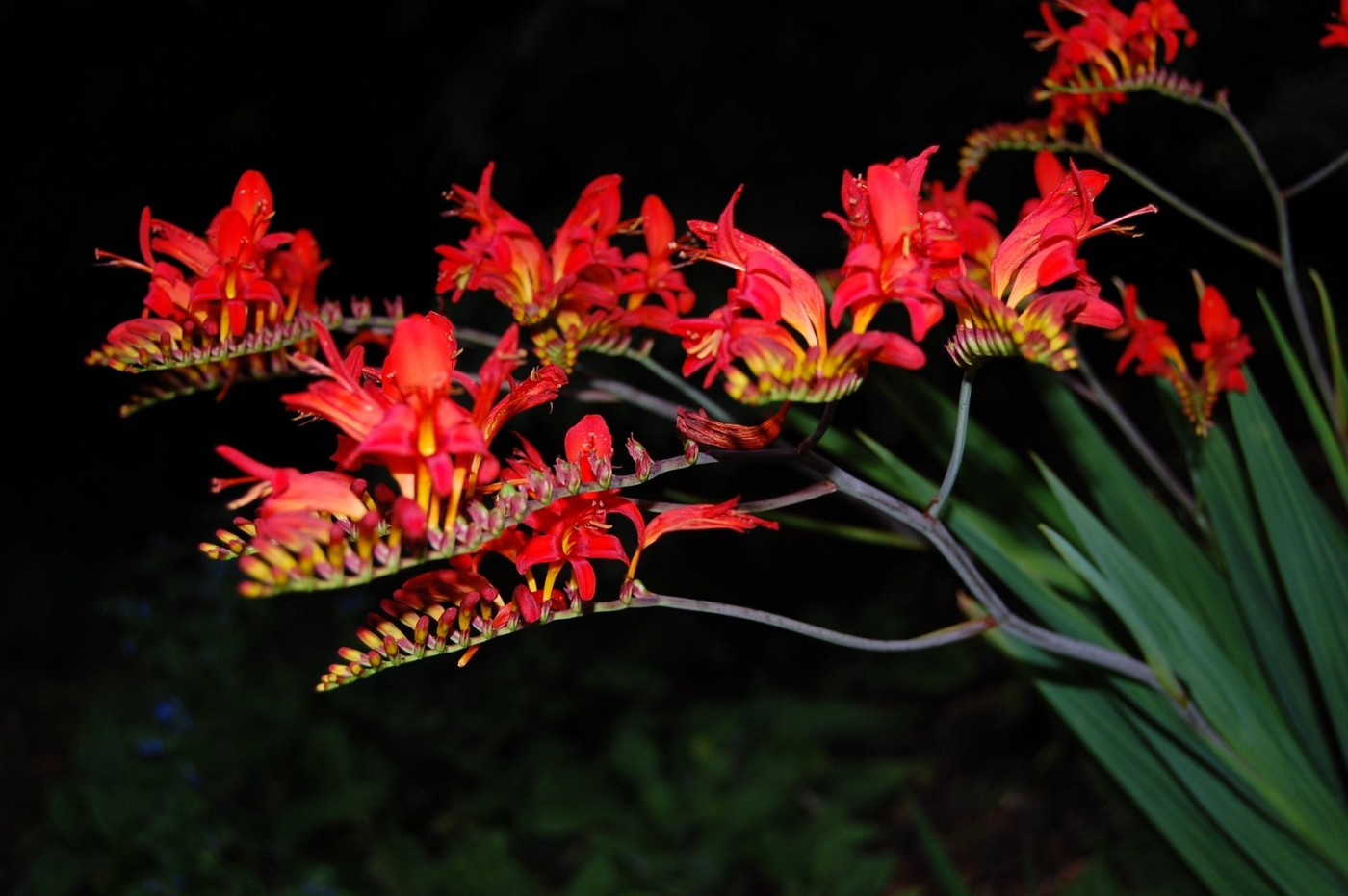 Perennials Crocosmia Lucifer black back-001