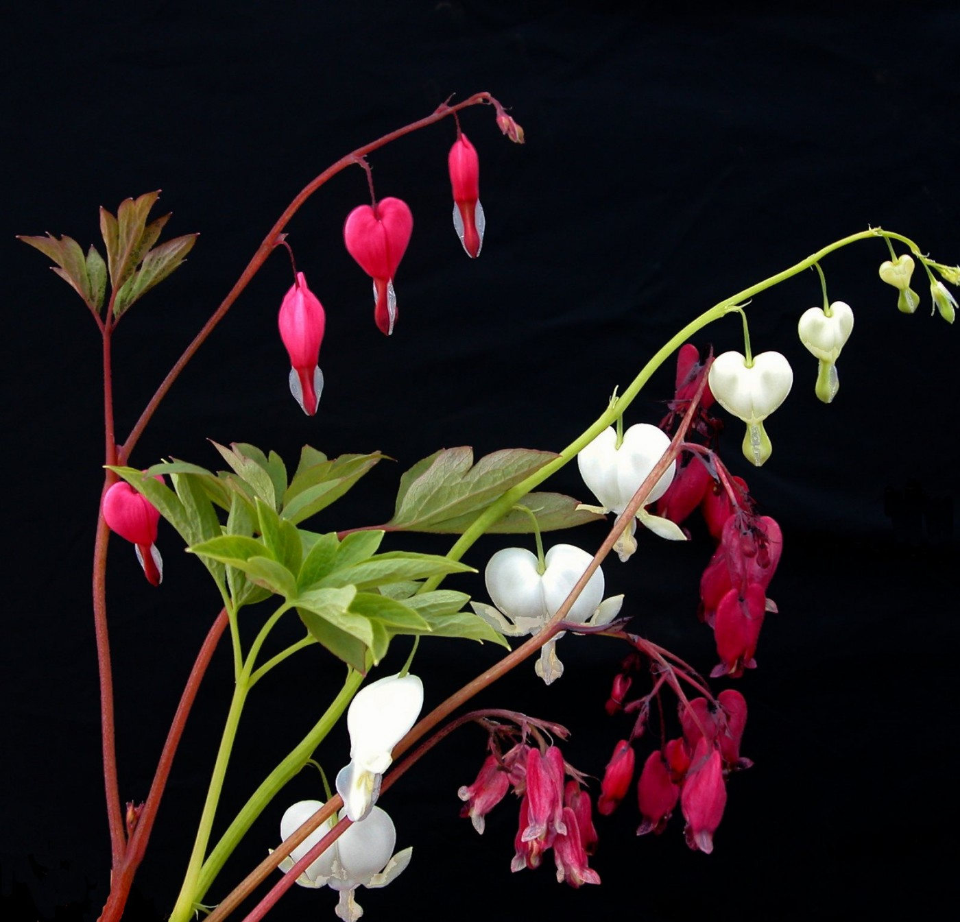 Perennials Dicentra formosa pink _ white, Baccaral and S Boothman