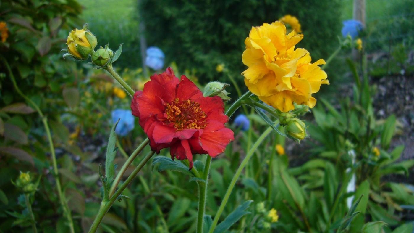 Perennials Geums (1)-001