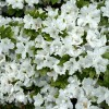 Evergreen Azaleas: May and June colour.