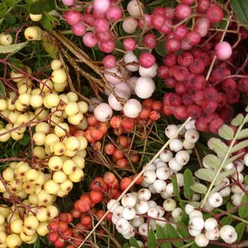 Trees Sorbus berries, various
