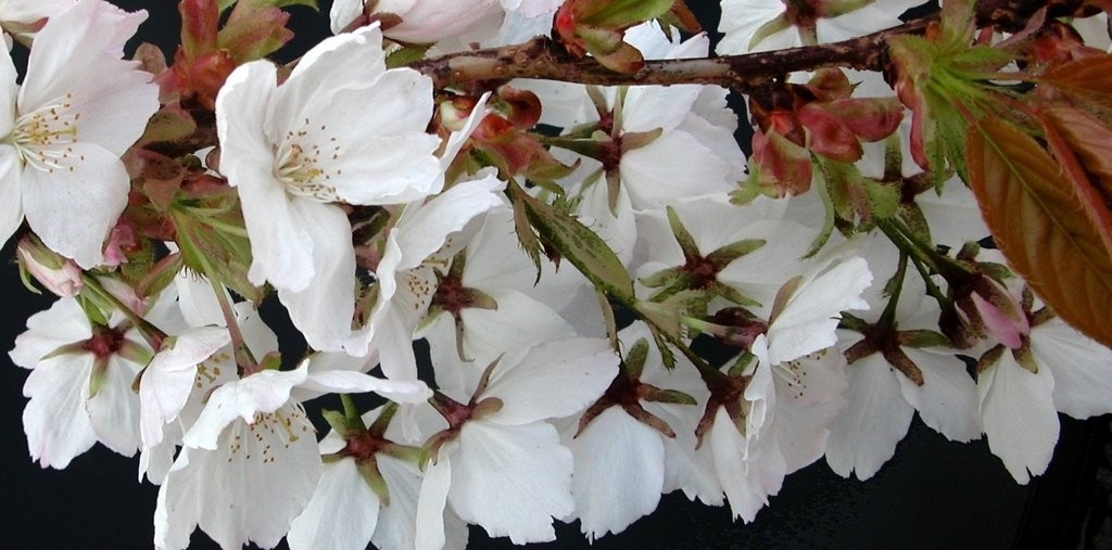 Trees Prunus Tai Haku (1)