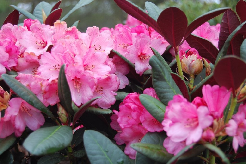 Rhododendron Wine and Roses VG-2