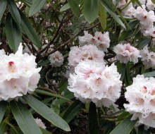 Rhododendron Calfort Bounty