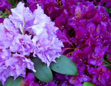 How to choose rhododendrons