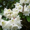 Rhododendron Woodland Hybrids