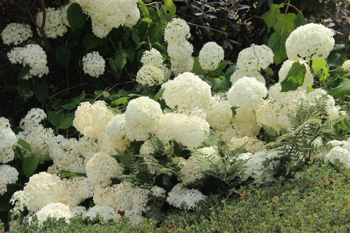 Hydrangea Hydrangea arborescens Annabelle (3)