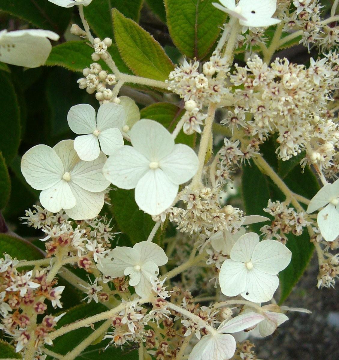 Hydrangea Hydrangea heteromalla SBEC