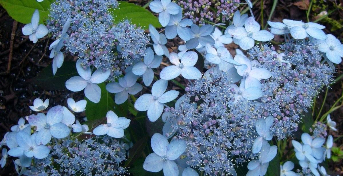 Hydrangea Hydrangea serrata Tiara vars in bed front of house (4)