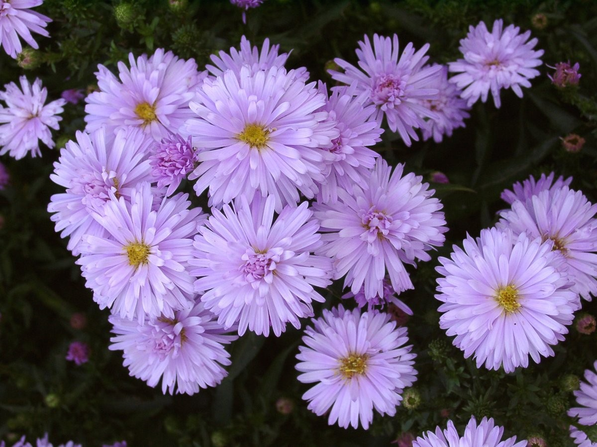 Perennial Aster Norman&#039s Jubilee (VG)