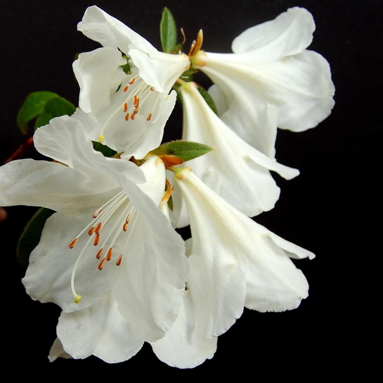 Maddenia Fragrantissimum