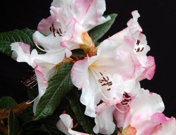 Maddenia Rhododendrons