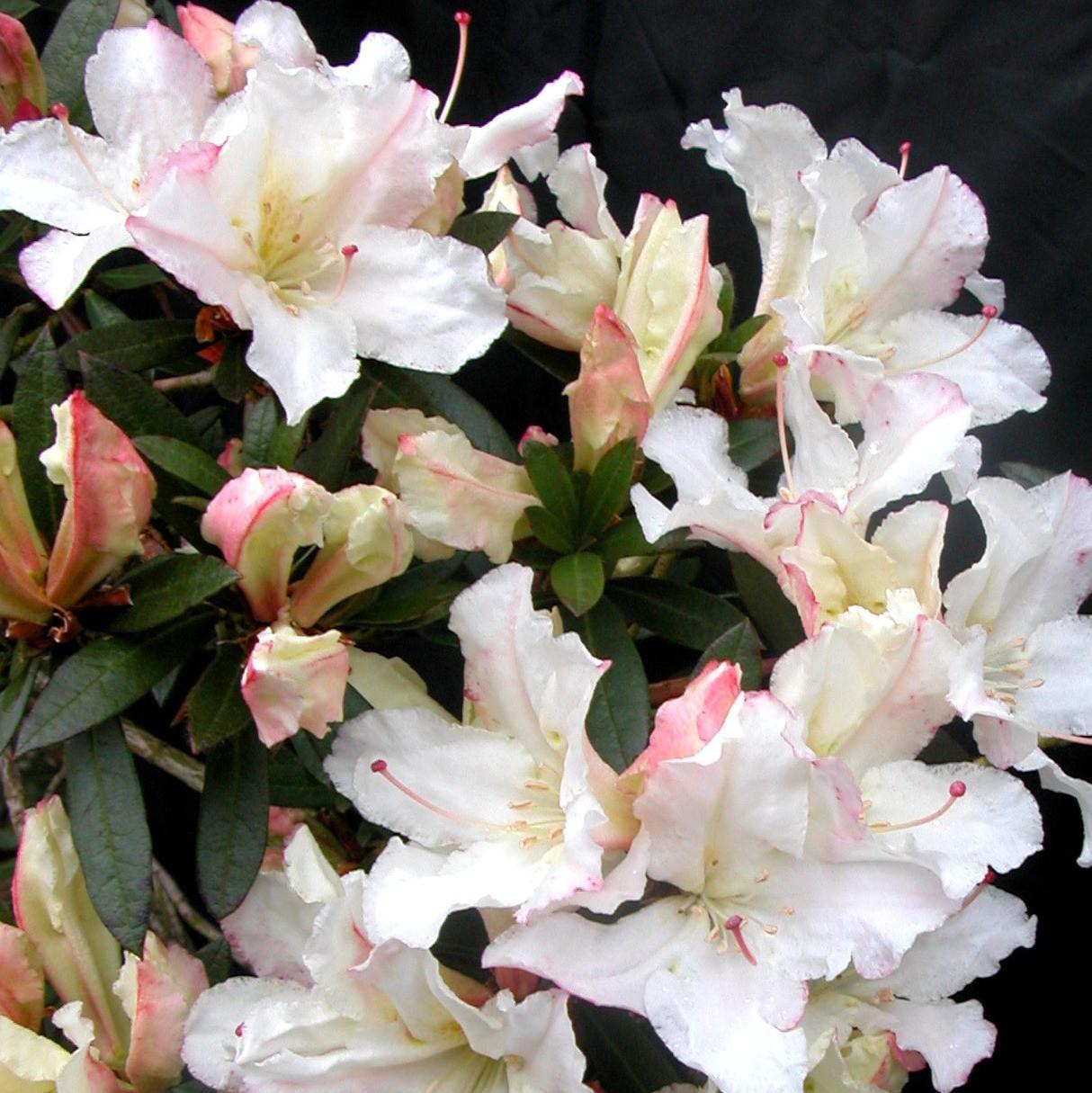 Maddenia formosum iteophyllum Shillong