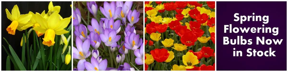 banner old Spring flowering bulbs now in stock