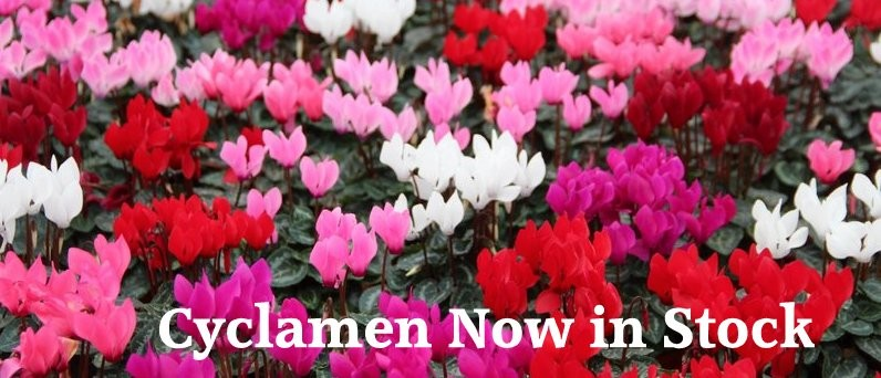 banners old Cyclamen  Robert Morton (18)