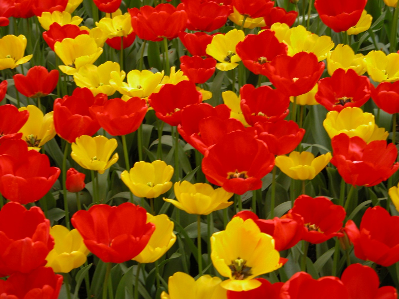 bulbs Tulips red _ yellow