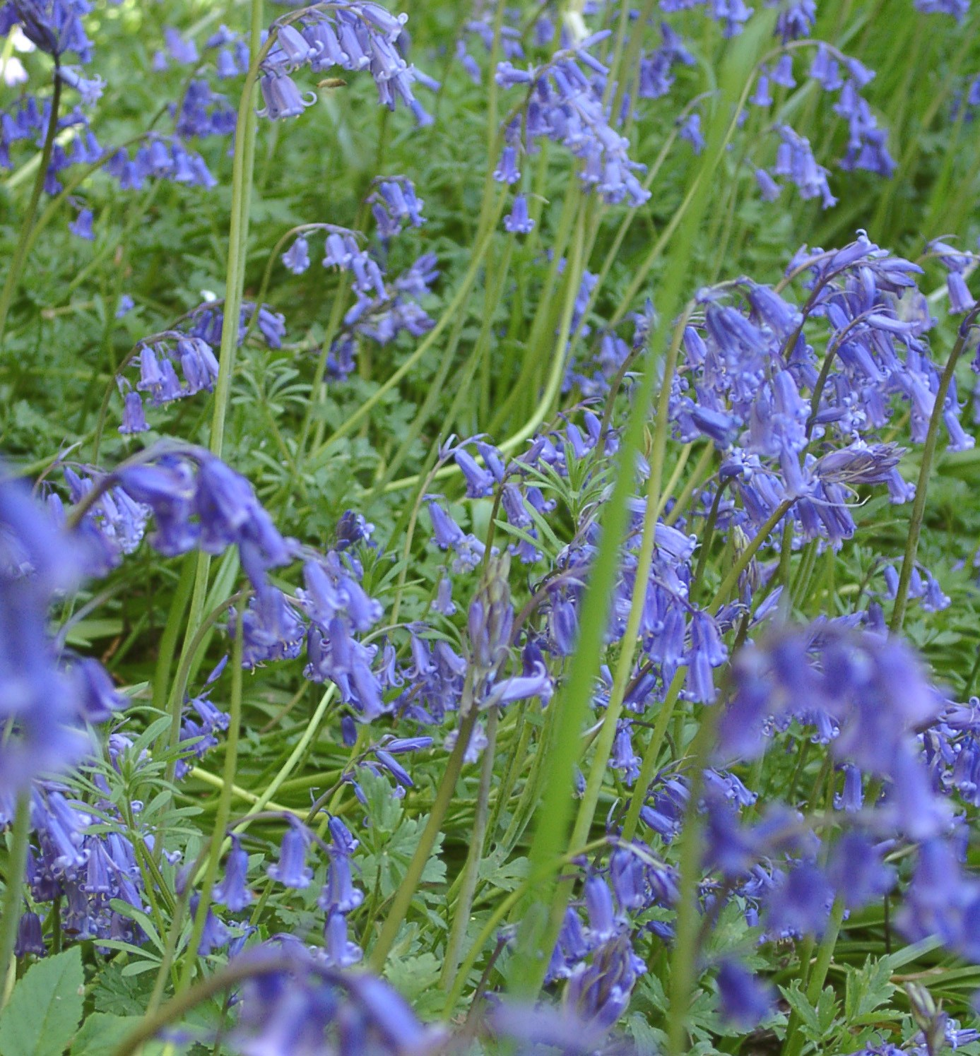 bulbs Bluebells 2