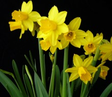 bulbs Narcissus Tete A Tete (black back, land)