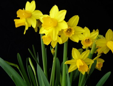 Win one of two prizes of £25 worth of spring bulbs