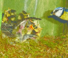 Birds Baby birds_nest box week_parent feeding_shutterstock_IS