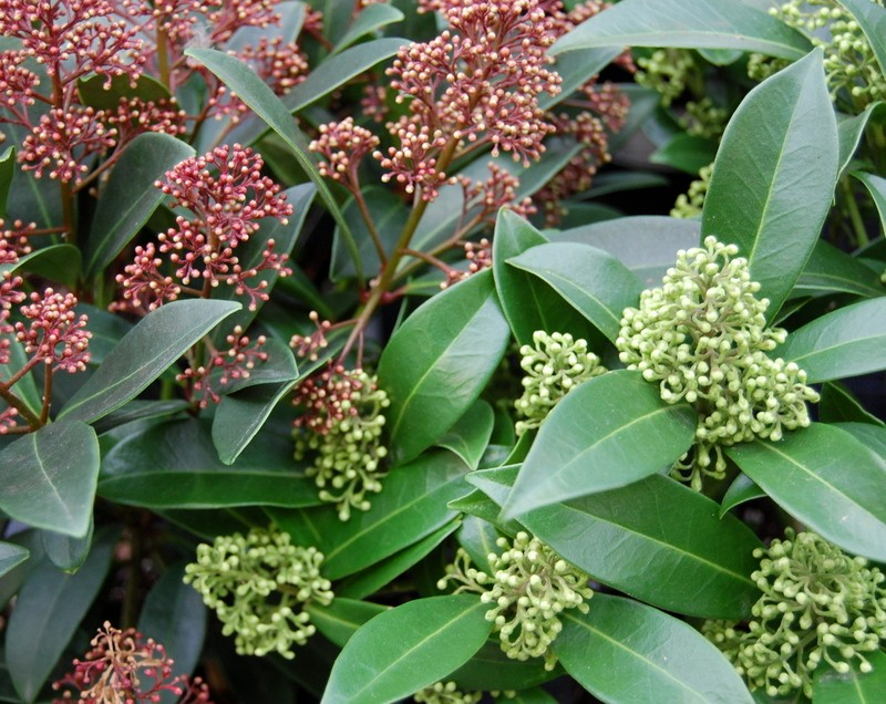 Shrubs Skimmia Rubella and Kew Green