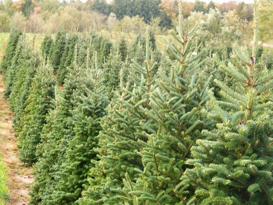 Tree farms in louisiana steeles christmas tree farm christmas trees at