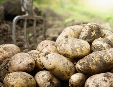 Potatoes: growing, seed potatoes and John Marshall weekend
