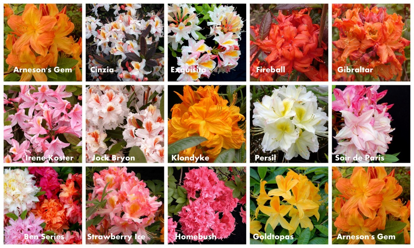 rhododendron Deciduous azalea hybrids collage