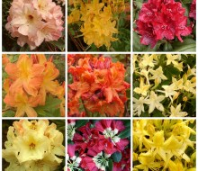 rhododendron Orange, red, yellow rhododendron and azalea combination