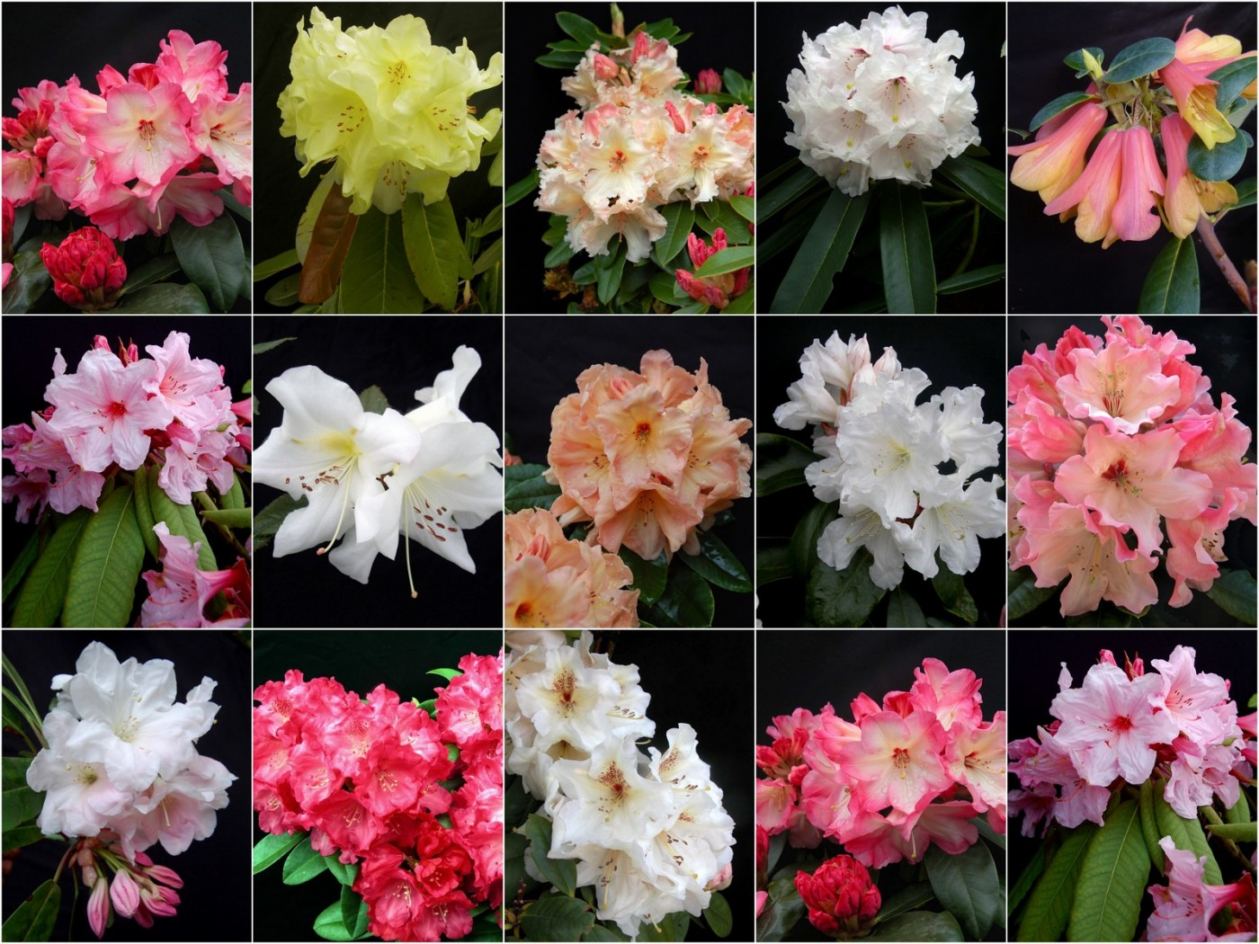 Identifying Rhododendrons Kenneth Cox