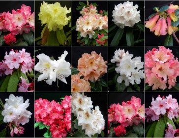 Rhododendrons growing in our Scottish nursery