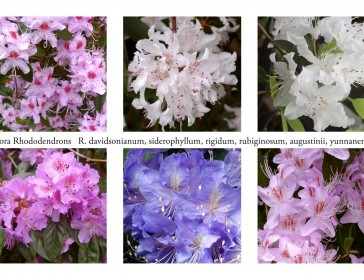 Identifying Rhododendrons, Kenneth Cox