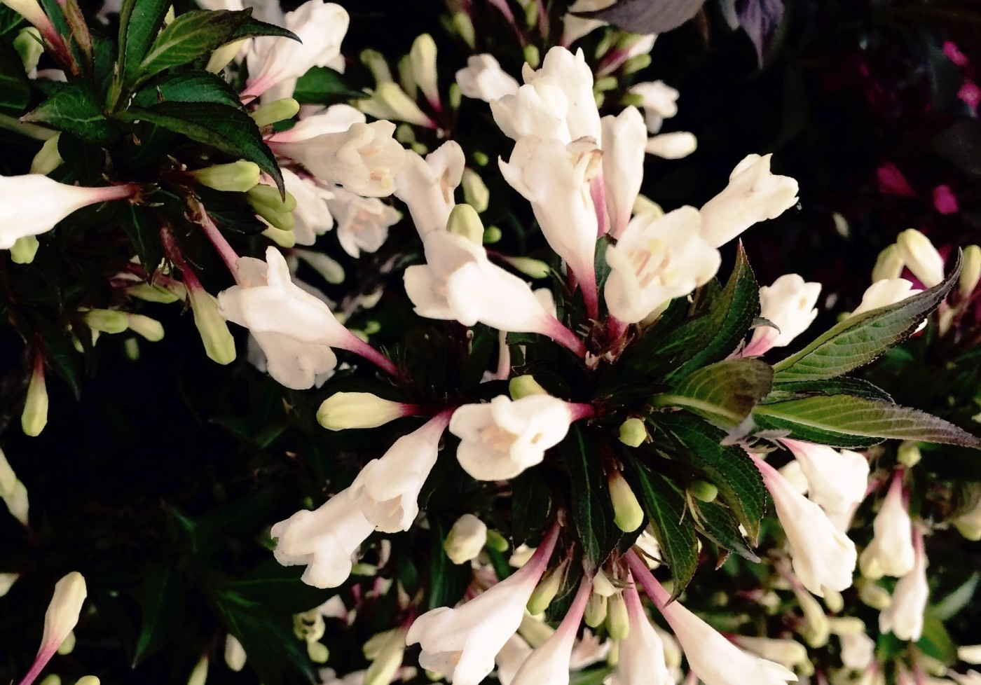 Plant Weigela-Black-and-White-001